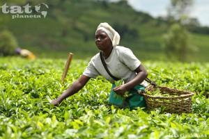 10. Čajovníkové plantáže v Ugandě