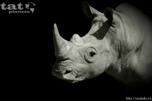 15. Nosorožec bílý