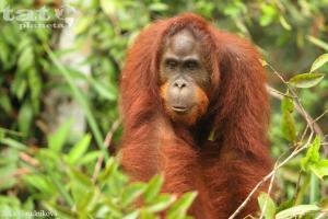 16. Orangutan bornejský